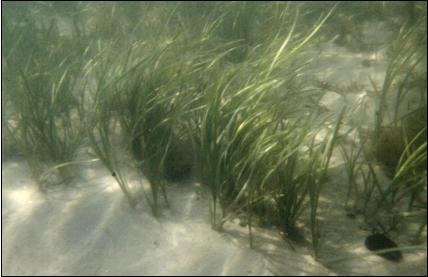 Underwater photograph of an eelgrass bed.